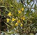 Caribbean Trumpet Tree (Tabebuia aurea) flowers in Hyderabad, AP W IMG 6556.jpg