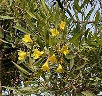 Caribbean Trumpet Tree (Tabebuia aurea) flowers in Hyderabad, AP W IMG 6556