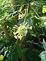 Carica jamaicensis BotGardBln1105LeavesInflorescence.JPG