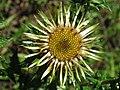 Carlina vulgaris 123.jpg