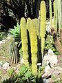 Carnegiea polylopha (villa Hanbury, Italy).jpg