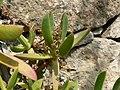 Carpobrotus edulis (Villa Hanbury, Italy) 1.jpg