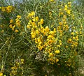 Cassia nemophila 2.jpg