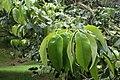 Castanopsis cuspidata kz01.jpg