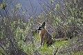 Catalina Island Fox (Urocyon littoralis catalinae) in grass.jpg