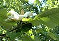 Catalpa macrophylla.jpg