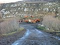 Cattle on the Old Road - geograph.org.uk - 125684.jpg
