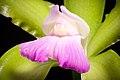 Cattleya tigrina fma. lilacina '-22' A.Rich., Portef. Hort. 2 166 (1848) (48356348337).jpg