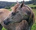Cavallo arabo.jpg