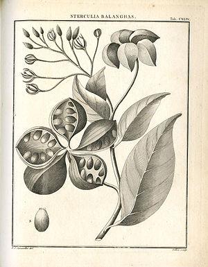 Antonio José Cavanilles - Sterculia balanghas from the 1790 edition of Monadelphiæ classis dissertationes decem by Antonio José Cavanilles.