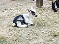 Cedar Point animal farm baby goat (3004).jpg