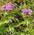 Centaurea phrygia subsp pseudophrygia RF.jpg