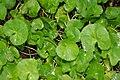 Centella asiatica 3zz.jpg