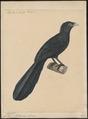 Centropus menbeki - 1825-1838 - Print - Iconographia Zoologica - Special Collections University of Amsterdam - UBA01 IZ18800175.tif