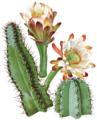 Cereus hildmannianus0.png