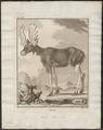 Cervus alces - 1700-1880 - Print - Iconographia Zoologica - Special Collections University of Amsterdam - UBA01 IZ21500098.tif