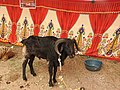 Chachacatti sheep-2-praba pet-salem-India.jpg
