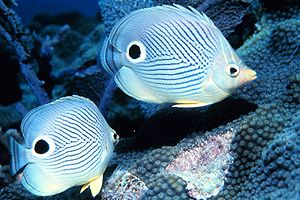 Foureye butterflyfish - Image: Chaetodon capistratus 1
