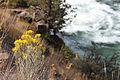 Chamisa shrub, Steelhead Falls (15288653411).jpg