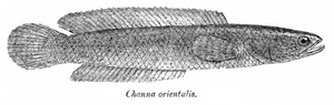 Channa orientalisZeichnung aus Fauna of British India. Fishes.