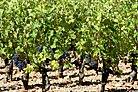 Chateau Margaux Cabernet Sauvignon vines.jpg
