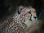 Cheetah (46741838262).jpg