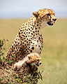 Cheetah and Cub.jpg