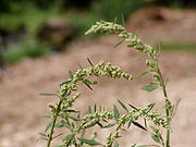 Chenopodium album flowers.jpg