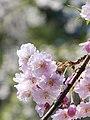 Cherry blossom in Kakunodate.jpg