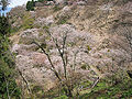 Cherry blossoms at Yoshinoyama 07.jpg