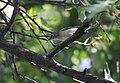 Chestnut-sided Warbler gets a bug (37309634701).jpg