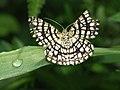 Chiasmia clathrata - Latticed heath - Пяденица клеверная (40028506635).jpg