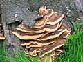 Chicken of the Woods - Laetiporus sulphureus.JPG