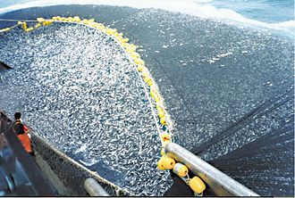 Seine fishing - A school of about 400 tons of jack mackerel encircled by a Chilean purse seiner