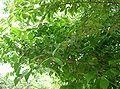 Chimonanthus praecox9.jpg