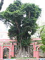 China - Macau 1 - Banyan tree (146804766).jpg