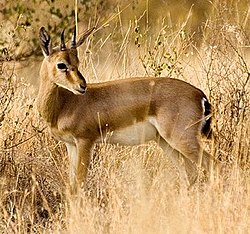 definition of gazelle