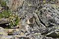 Chipmunk in Glacier National Park.jpg