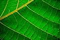 Chlorophyll Texture (2579609572).jpg