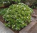 Choisya × dewitteana, Christchurch Botanic Gardens, Canterbury, New Zealand 02.jpg
