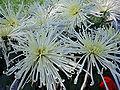 ChrysanthemumMorifolium5.jpg