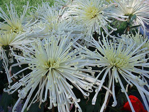 ChrysanthemumMorifolium5