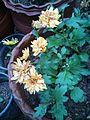 Chrysanthemum a variety.jpg