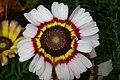 Chrysanthemum from lalbagh7241.JPG