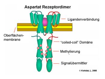 Aspartat Rezeptordimer