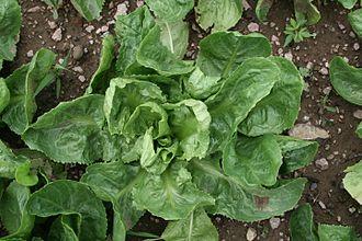 Endive - A broad-leaved endive cultivar of species Cichorium endivia
