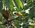 Cinnamon Becard Pachyramphus cinnamomeus (41929908125).jpg