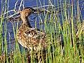 Cinnamon Teal on Seedskadee National Wildlife Refuge (26544725620).jpg