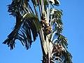 City Botanic Gardens Travellers Palm and fruit IMG 4282 (5707971099).jpg