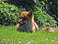 City of London Cemetery, Newham, London England - fox 09.jpg